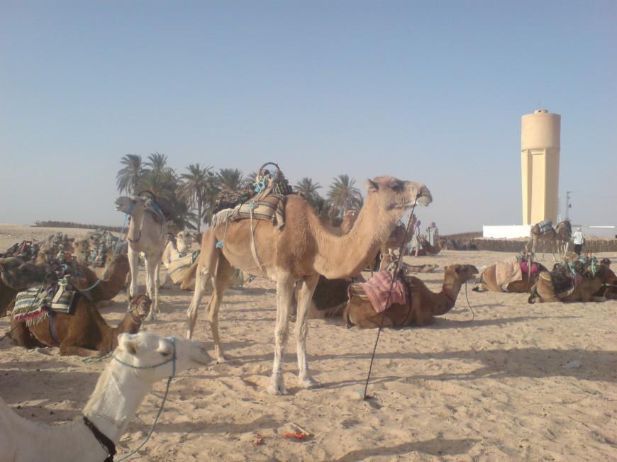 camel sahara desert tunisia