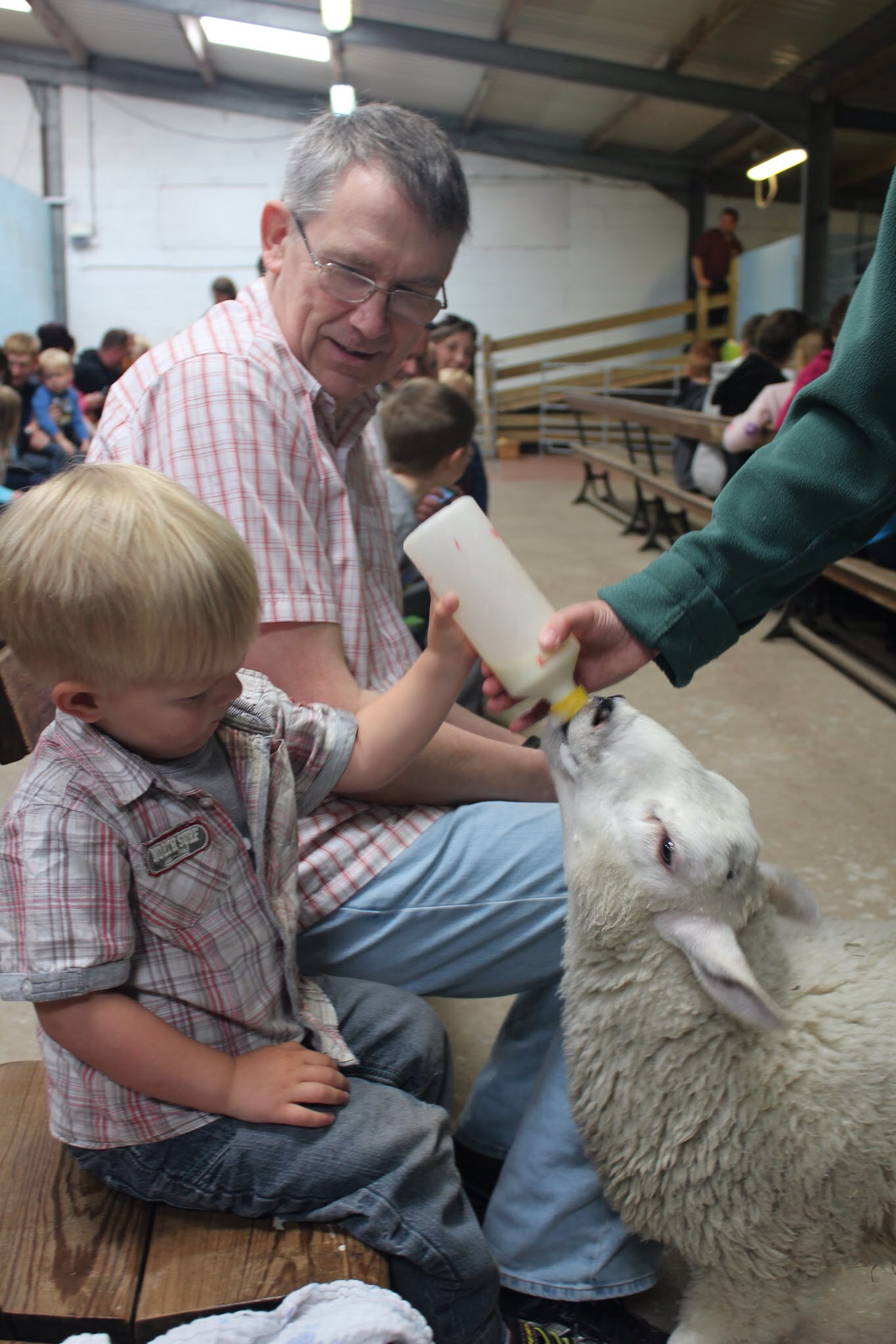 bottle feed lambs at park hall farm in oswestry shropshire