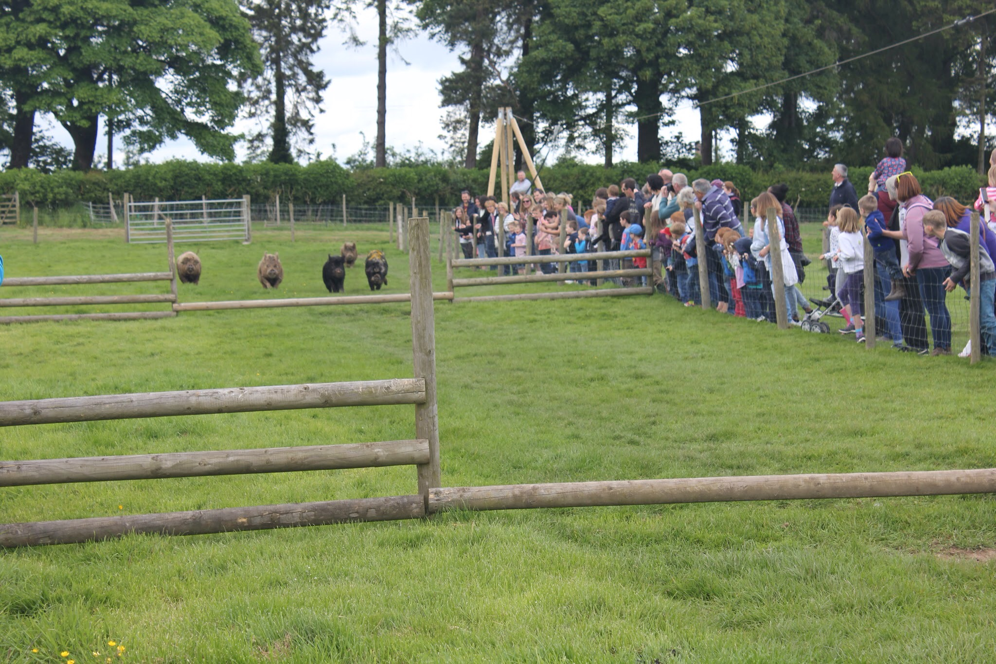 pig racing fun at park hall farm countryside experience in oswestry shropshire