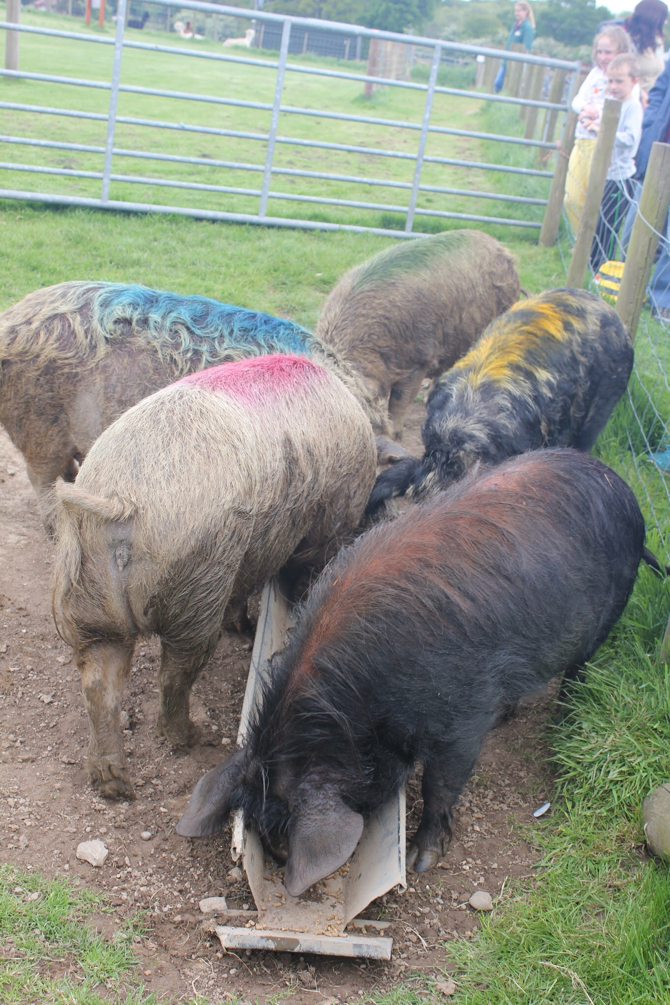 pigs coloured to distinguish the winner aftyer pig race at park hall countryside farm experience in oswestry