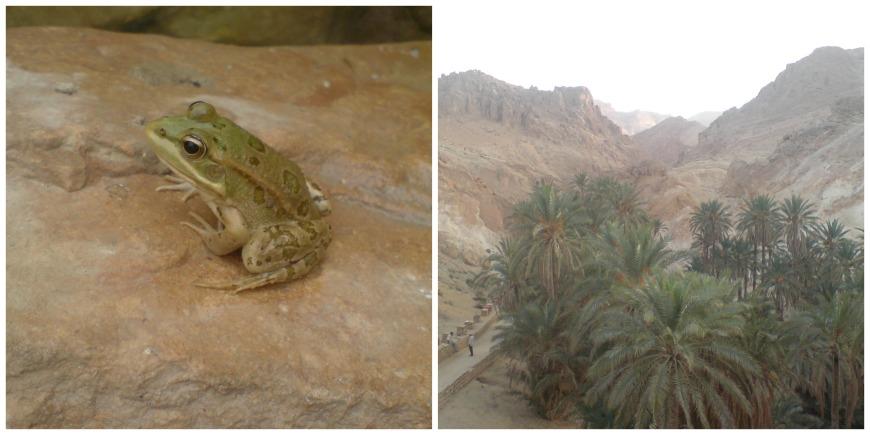 oasis tunisia frog