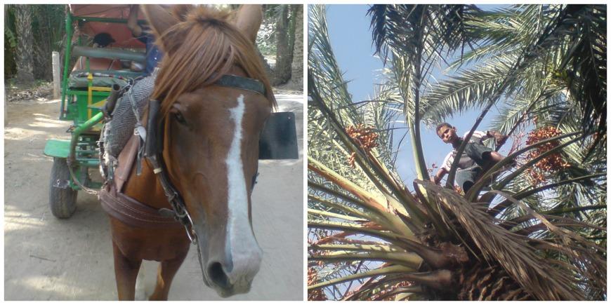 horse cart tunisia date farm boy in tree