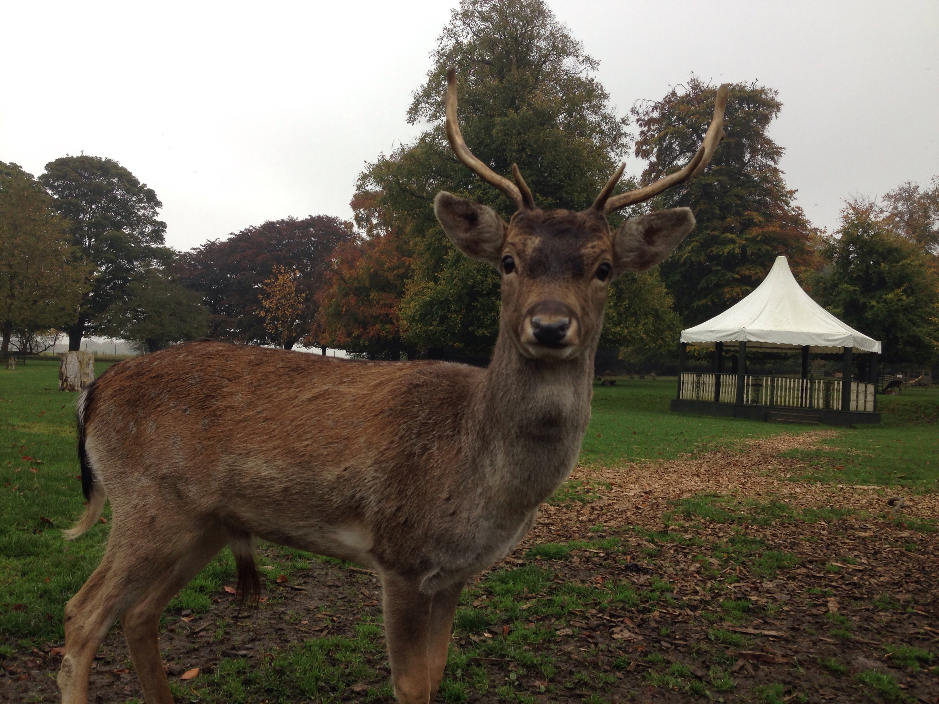 young male deer at whitworth hall country park