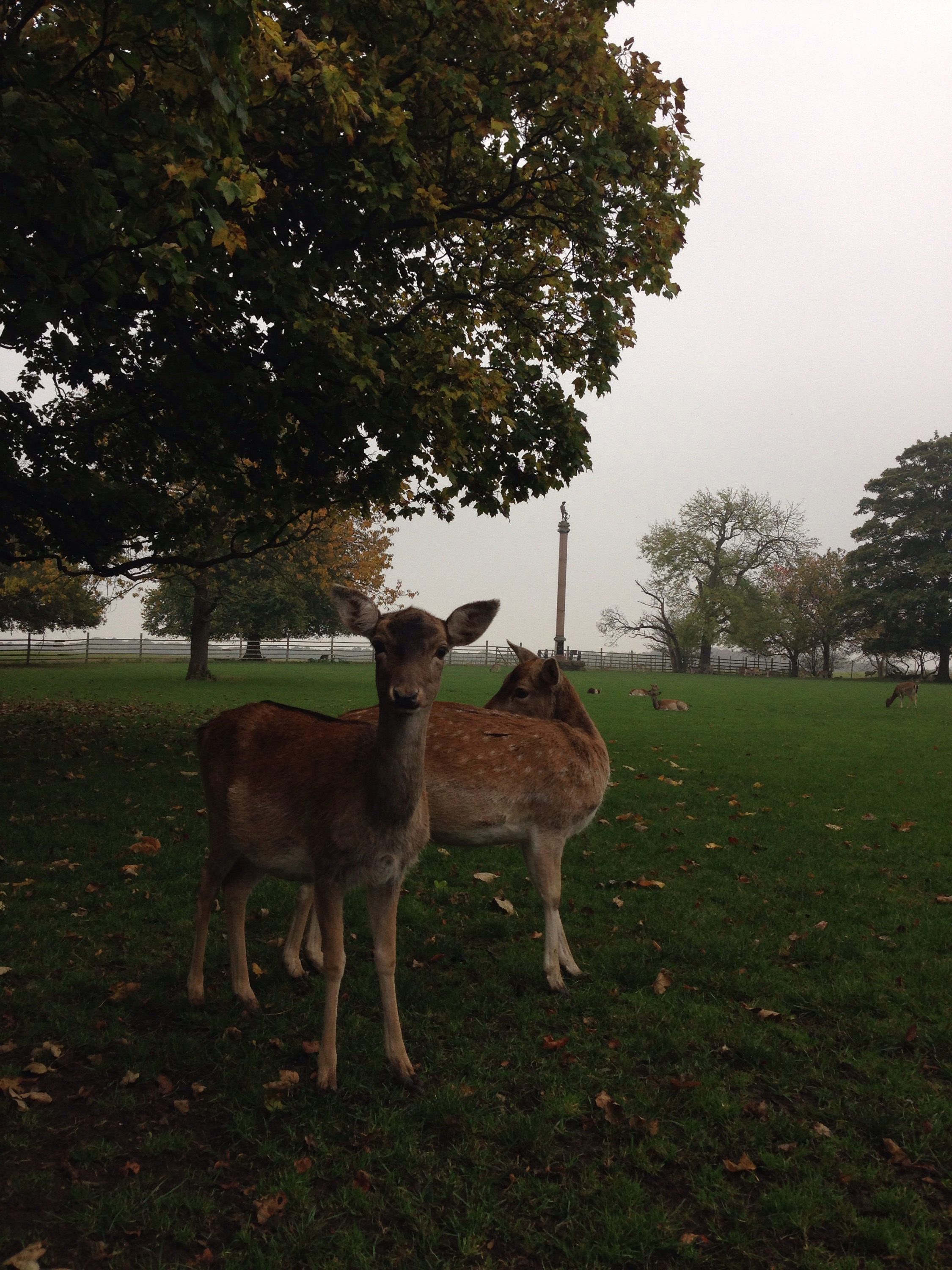 deer at whitworth hall country park with bobby shaftoe statue