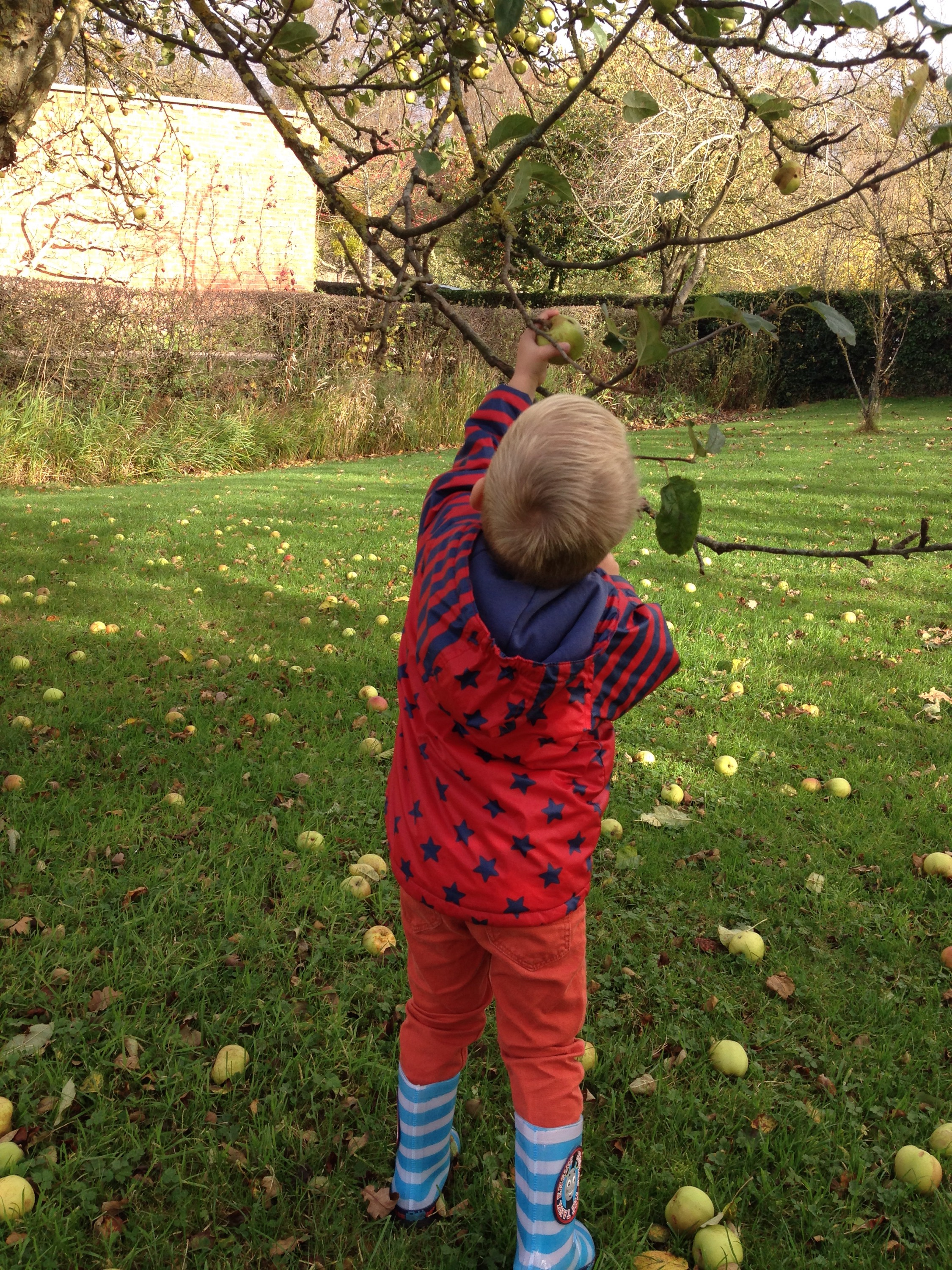 James reaching to pick an apple from the tree at Erddig